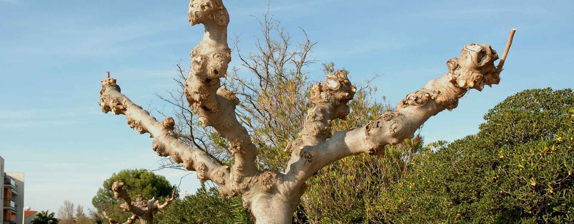 L'élagage d'arbre par un professionnel